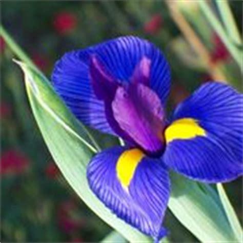 Fiori Bulbosi by Iris Bulbosi Bulbi Coltivare Gli Iris Da Bulbo