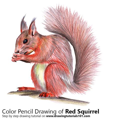 red squirrel colored pencils drawing red squirrel