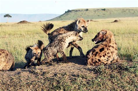 hyena royalty  alliances  stay  top futurity