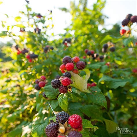 How Do I Trim My Thornless Blackberry Bushes?