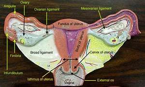 Female Reproductive System Diagram Labeled Lovely New Page