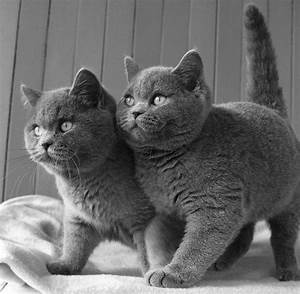 British Shorthair Cats | CatsSky | Gray and Gray-and-White ...
