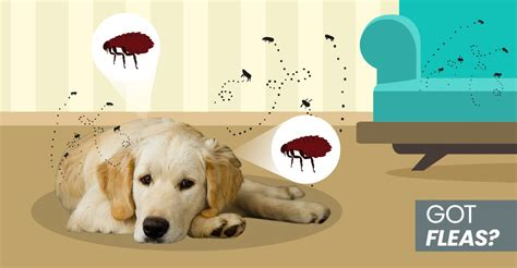 how to rid fleas in house how to get rid of fleas naturally on your at home