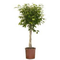 Ficus Benjamini Vermehren : ficus benjamina rona ~ Lizthompson.info Haus und Dekorationen