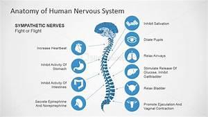 Sympathetic Nerves Powerpoint Diagram