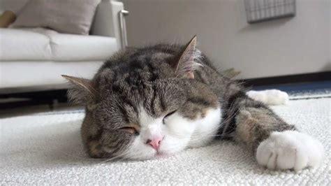 寝るねこ。sleeping Maru Youtube