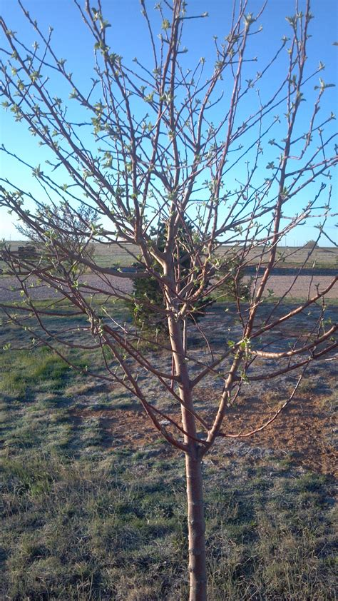 pruning trees pruning apple trees in spring local llano