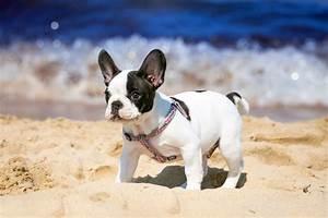 Hundebekleidung Französische Bulldogge : franz sische bulldogge kaufen ~ Frokenaadalensverden.com Haus und Dekorationen