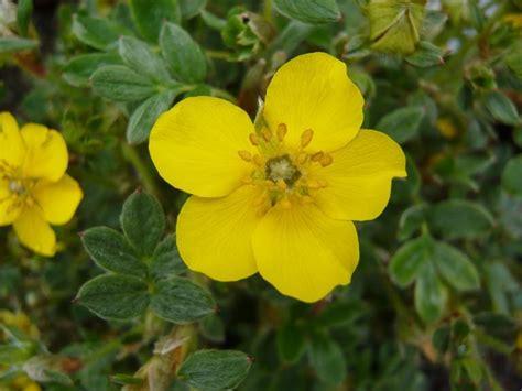 Potentilla fruticosa 'Beesii'