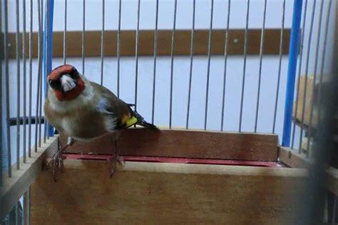 cardellino in gabbia il wwf libera 50 piccoli uccelli nell oasi in citta di