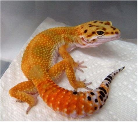 high color leopard gecko for sale baby leopard