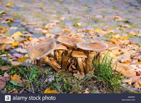 Hallimasch Pilze Im Garten by Pathogen Stockfotos Pathogen Bilder Alamy