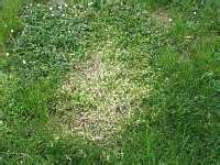 Welches Tier Frisst Pilze Im Garten by Hexenring Pilz Im Rasen Braun Engerling Rasen Sch 228 Dlinge