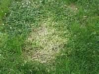 Braune Stellen Im Rasen : hexenring pilz im rasen braun engerling rasen sch dlinge ~ Lizthompson.info Haus und Dekorationen