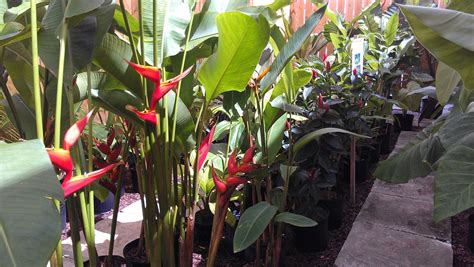 New Tropical Plants Inventory At Exotica Tropicals