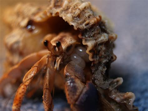 Do Hermit Crabs Shed Legs by Hermit Crab Care Hermit Crab Infomation Website