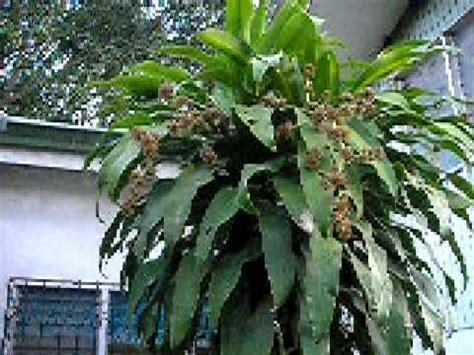 iligan fortune plant  bears flowers youtube