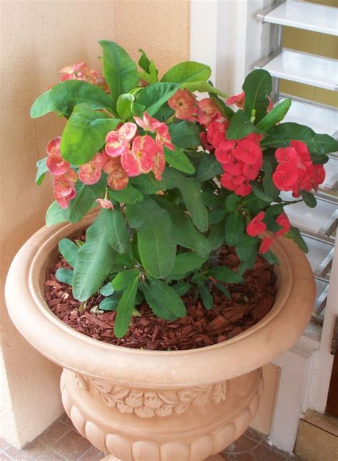 plant care 17 best ideas about crown of thorns plant on pinterest euphorbia milii unique flowers and