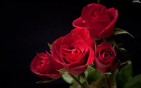 Red, Roze - Flowers wallpapers: 2560x1600