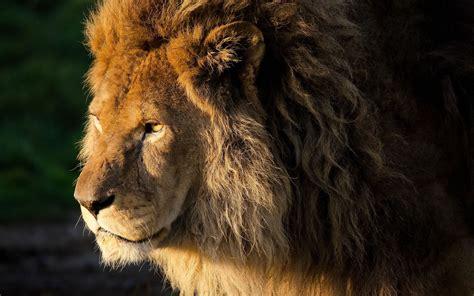 Lions Desktop Background Quotes