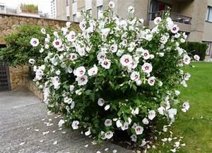 Arbuste Plein Soleil Longue Floraison : awesome hibiscus de jardin en haie pictures design ~ Premium-room.com Idées de Décoration