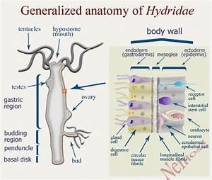 Hydra magnipapillata, fresh water polyp - model organism ...