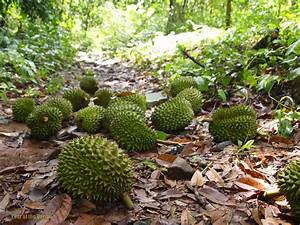 So You Want to Plant a Durian Tree