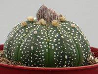 Cactus Sans Epine : cactus sans epine kuentz cactus ~ Melissatoandfro.com Idées de Décoration