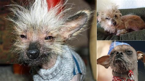 hairless dogs flock to yearly ugly dog competition