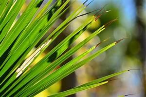 Hanfpalme Braune Blätter : hanfpalme bekommt braune bl tter nach winter was tun ~ Lizthompson.info Haus und Dekorationen