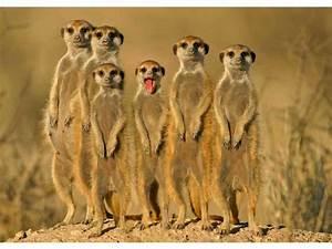 meerkat, family