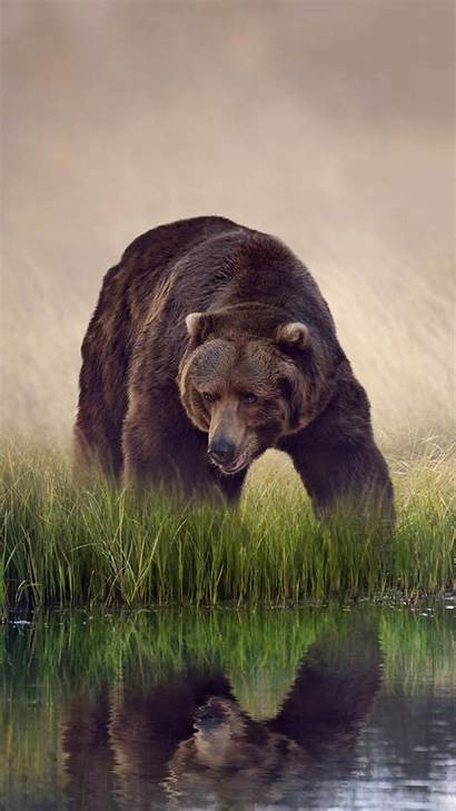 Bear Iphone Brown 6s Grizzly Wallpapers Meizu