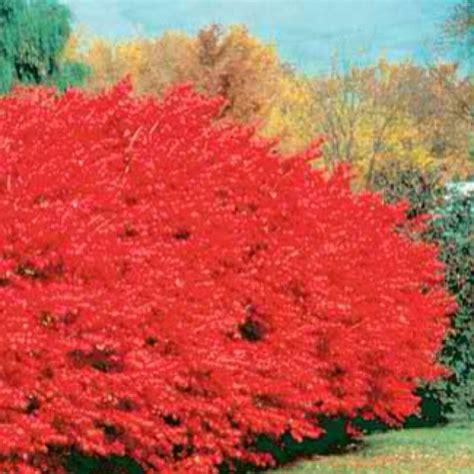burning bush plant burning bush red pinterest