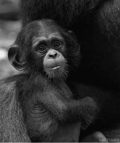 Monkeys Monkey Adorable Chimpanzees Funny Animal Gifs