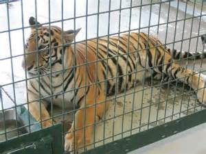 big cat habitat and gulf coast sanctuary the 900 pound liger chilling out picture of big