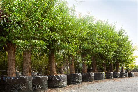 piante da giardino sempre verdi 5 tipologie di alberi da balcone possono stare in vaso