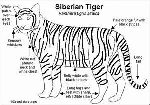 Siberian Tiger Printout