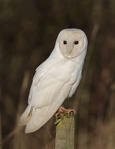 Barn Owl Habitat. The RSPB: Barn Owl: Habitat. Springwatch ...