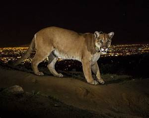 Making Room for Cougars in California's Cities ...