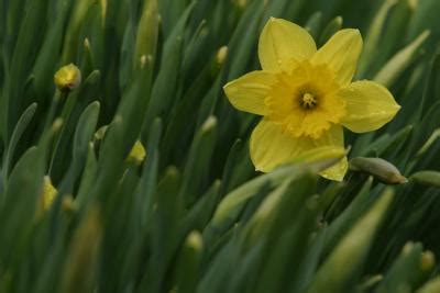 storing daffodil bulbs after flowering home guides sf gate