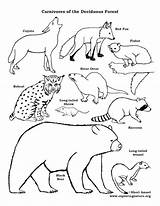 Coloring Forest Deciduous Pages Chain Carnivores Drawing Carnivore Web Animal Printable Animals Temperate Chains Drawings Herbivores Broken Forests Getdrawings Woodland sketch template