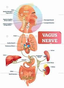 Vagus Nerve Anatomical Vector Illustration Diagram