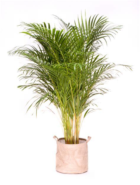 plante cuisine decoration grande plante verte d 39 intérieur dépolluante areca 130