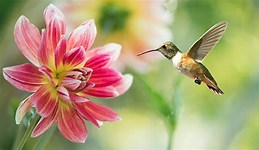 Image result for Royalty Free Picture of Hummingbird