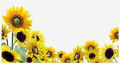 Sunflower Clipart Sunflowers Transparent Clip Cliparts Seekpng