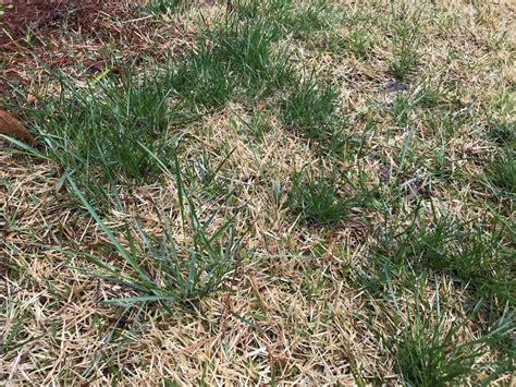 Grassy Type Weed In Bermuda Grass
