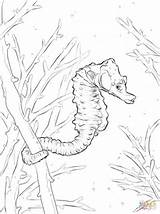 Seahorse Coloring Adult Template Printable Templates Common sketch template