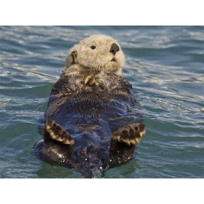 Sea Otter Prince William Sound Alaska USA Photographic