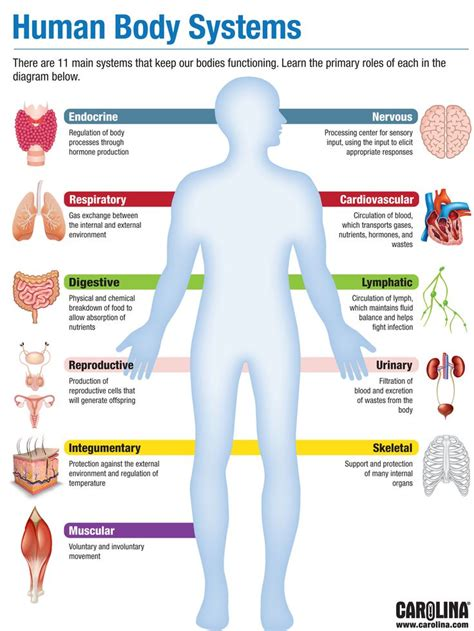 infographic human body systems human body systems