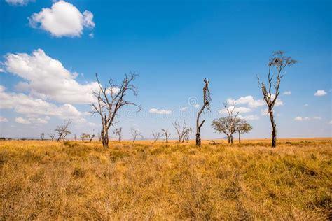 Acacia Tree Silhouette Stock Photos Download 1918